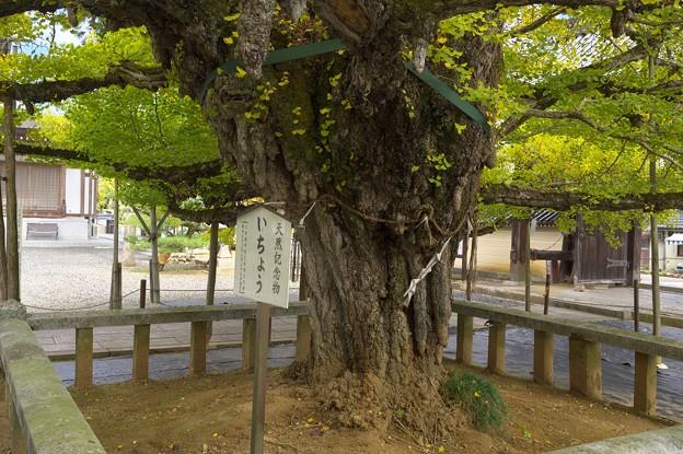 誕生寺の大いちょう 2