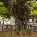 Photos: 誕生寺の大いちょう 2