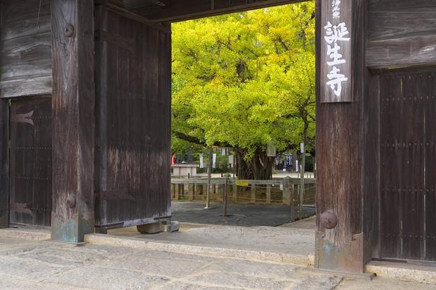 誕生寺の大いちょう 3