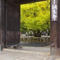 Photos: 誕生寺の大いちょう 3