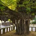 Photos: 誕生寺の大いちょう 4