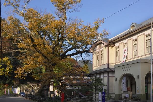柏原の大ケヤキと市役所