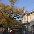 Photos: 柏原の大ケヤキと市役所