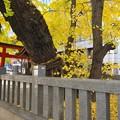 Photos: スーパー前の神社のイチョウ2