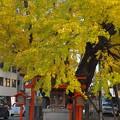 Photos: スーパー前の神社のイチョウ3