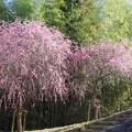 Photos: 満開の枝垂れ梅
