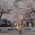 写真: 満開の桜の下で