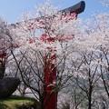 写真: 大鳥居と桜