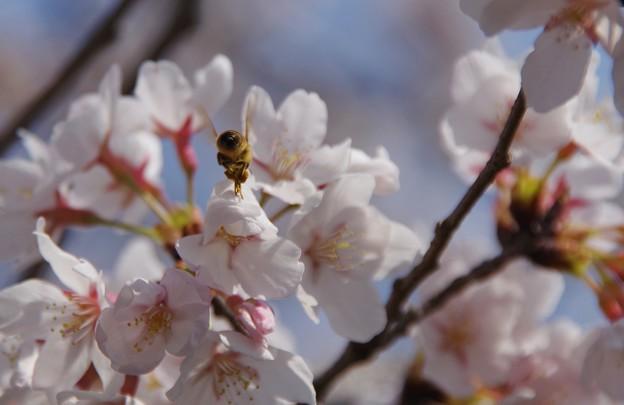 桜とおしり
