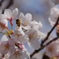 写真: 桜とおしり