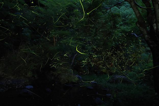 5月19日 ゲンジボタル撮影1