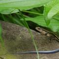 写真: ニホントカゲ幼体