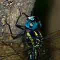 写真: 青い目をしたヤブヤンマ