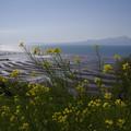 菜の花と御輿来海岸