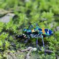 蟻を捕まえたハンミョウ
