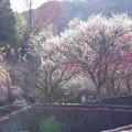 Photos: 6分咲き