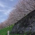 Photos: 桜 さくら