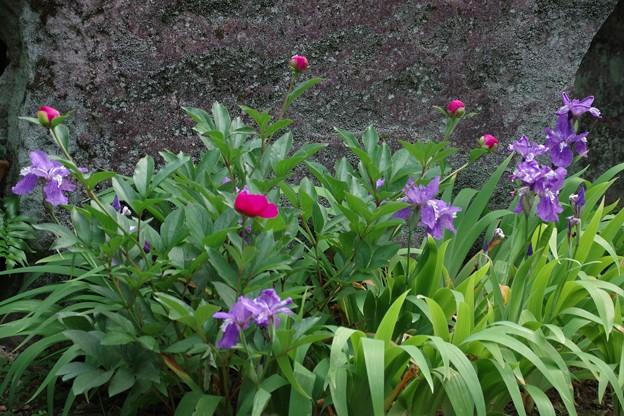 庭の芍薬が咲き始めました