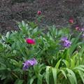 Photos: 庭の芍薬が咲き始めました