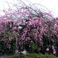 Photos: 庭に咲く
