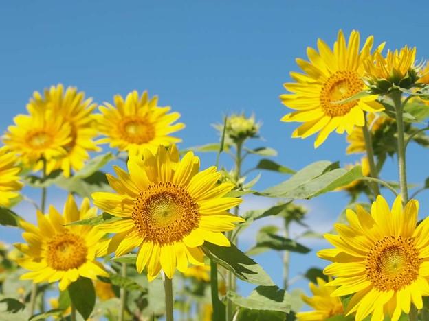 青空に映える向日葵