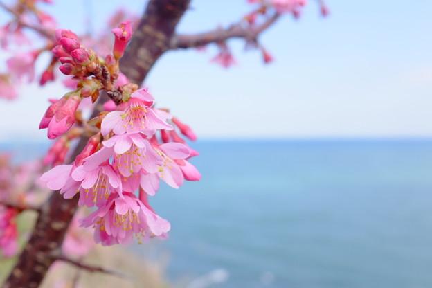 根府川の「おかめ桜」