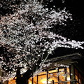 写真: 上野公園の夜桜