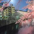 写真: 目黒川の夜桜