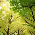 写真: 神宮外苑いちょう並木