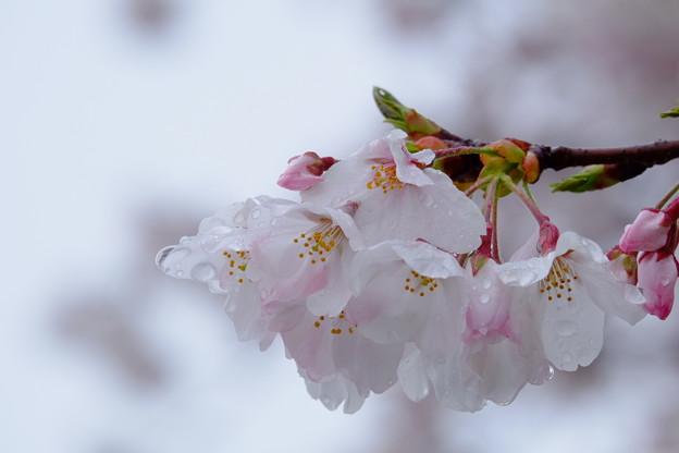 雨の日の桜