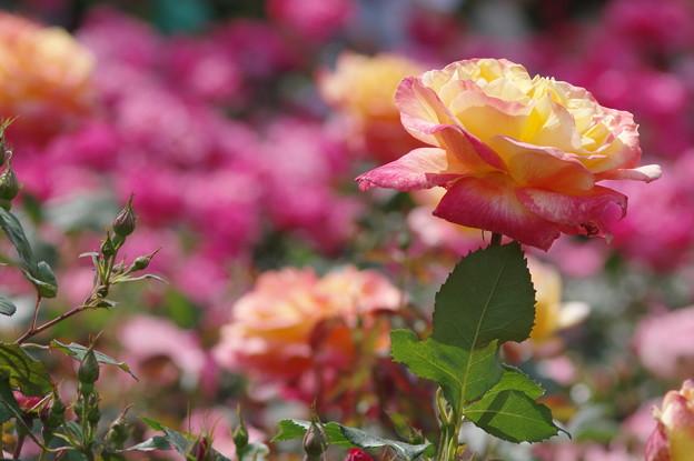 バラ祭り与野公園