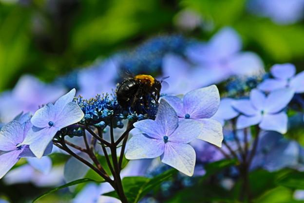 紫陽花とくまんばち1