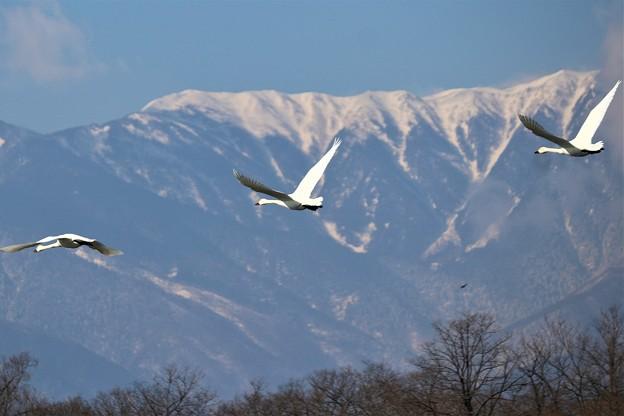 Photos: アルプスと白鳥