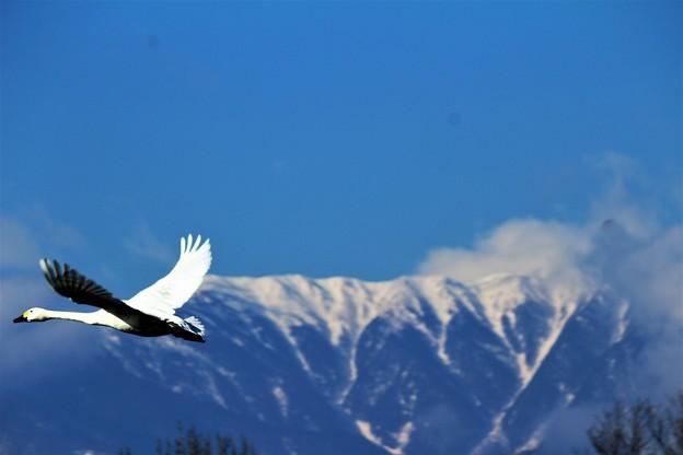 Photos: 白鳥と北アルプスシュルエット