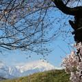 Photos: アルプスと桜