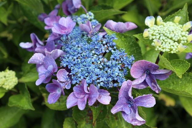めずらしい紫陽花
