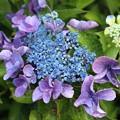 Photos: めずらしい紫陽花