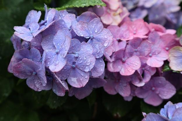 混色紫陽花