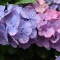 Photos: 混色紫陽花