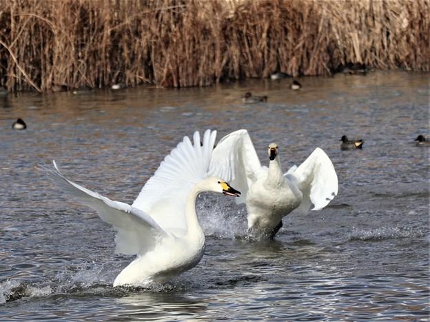 Photos: 白鳥の舞