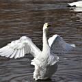 Photos: 白鳥の舞1
