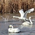 Photos: 白鳥離陸