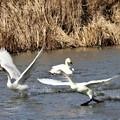 Photos: 白鳥歩きながら
