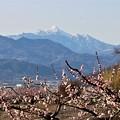 雪山とあんず花