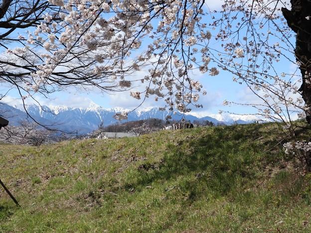 桜とアルプス3