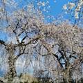Photos: 安養寺の桜