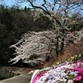 Photos: つつみの桜1