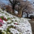 Photos: つつみの桜