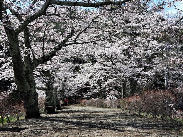 つつみの桜1