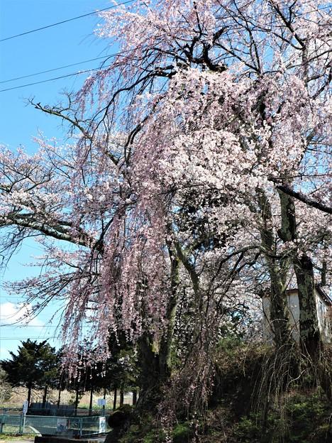 1枝垂れ桜
